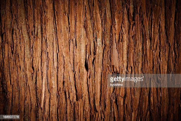 Bark of cedar tree texture background with spotlight