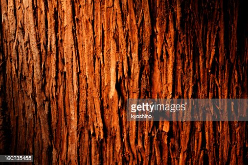 Bark of cedar tree textured background