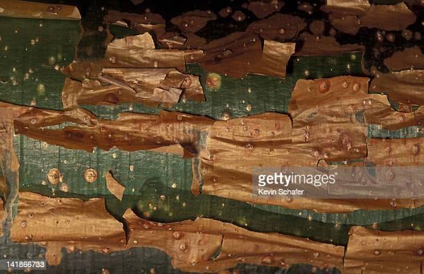 Bark of gumbo-limbo (Bursura) is photosynthetic; Costa Rica.