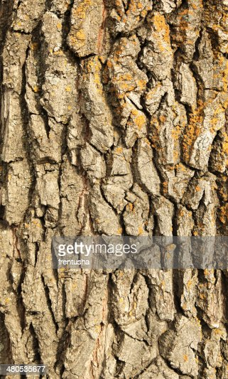 Bark of oak : Stock Photo