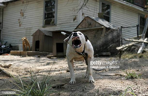 Barking and baring her teeth a female pit bull terrier defends her turf in the front yard of a home in Durham North Carolina August 9 where animal...