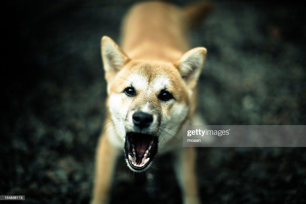 Barking Dog : Stock Photo