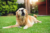Golden retriever lying in the grass with mouth open and barking
