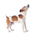 portrait of a barking jack russel terrier in studio
