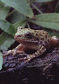 Barking Tree Frog (Hyla Gratiosa). Photographed by acclaimed wildlife photographer and writer, Dr. William J. Weber.