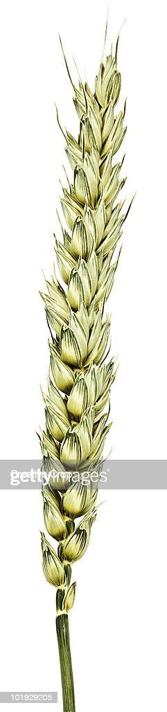 Barley / corn : Stock Photo