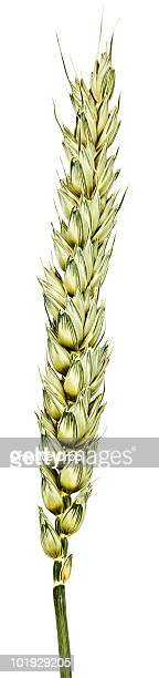 Barley / corn