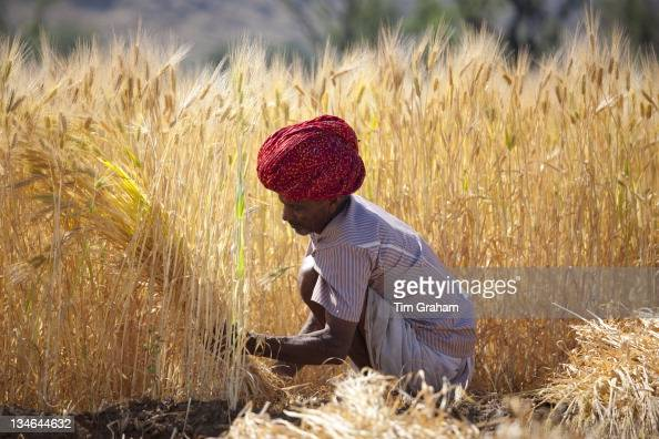 Barley crop being harvested by local agricultural workers in fields at Nimaj Rajasthan Northern India