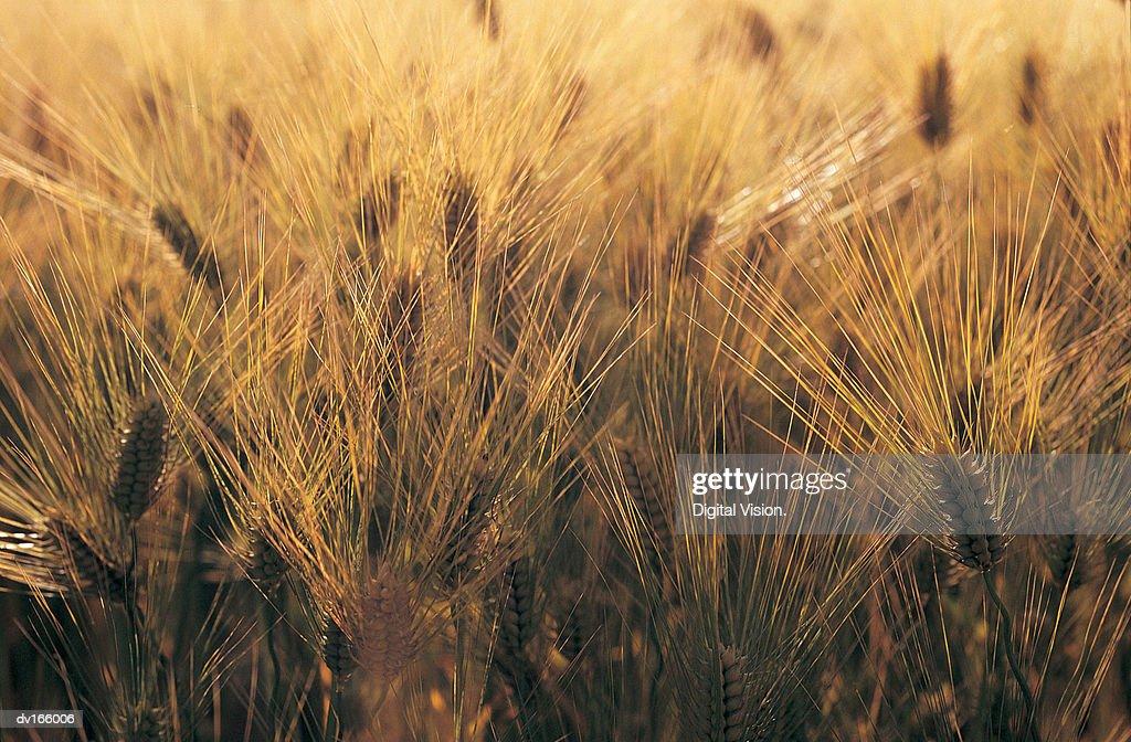 Barley crop : Stock Photo