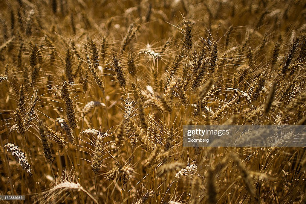 A barley crop stands ready for harvesting in Cervera, Spain, on Thursday, July 4, 2013. Spain consumes about 28 million to 30 million tons of grain a year, of which two-thirds is produced domestically, according to young farmers organization Asaja. Photographer: David Ramos/Bloomberg via Getty Images