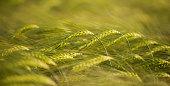 Barley Ears Bent Over
