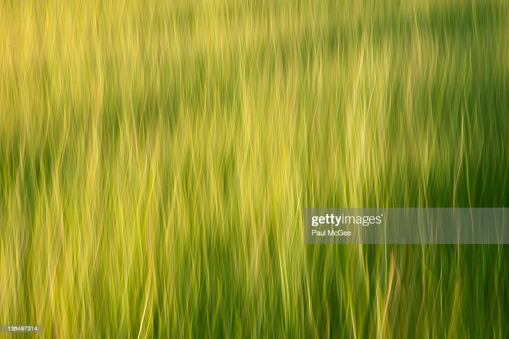 Barley feld : Stock Photo