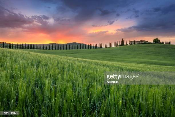 Barley field and alley of cypress tree lead to the villa on the hill at sunset in Tuscany, Italy.