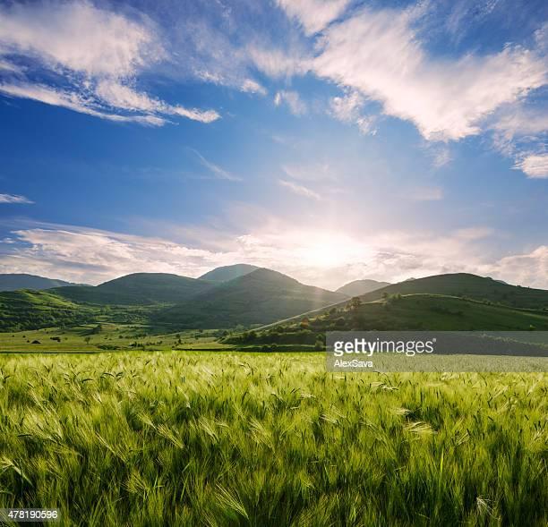 Champ d'orge et de collines dans le coucher du soleil