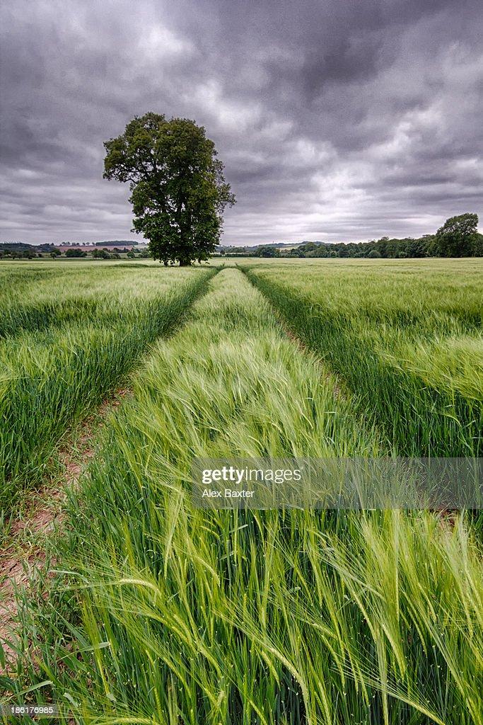 Barley Field, Nottinghamshire : Stock Photo