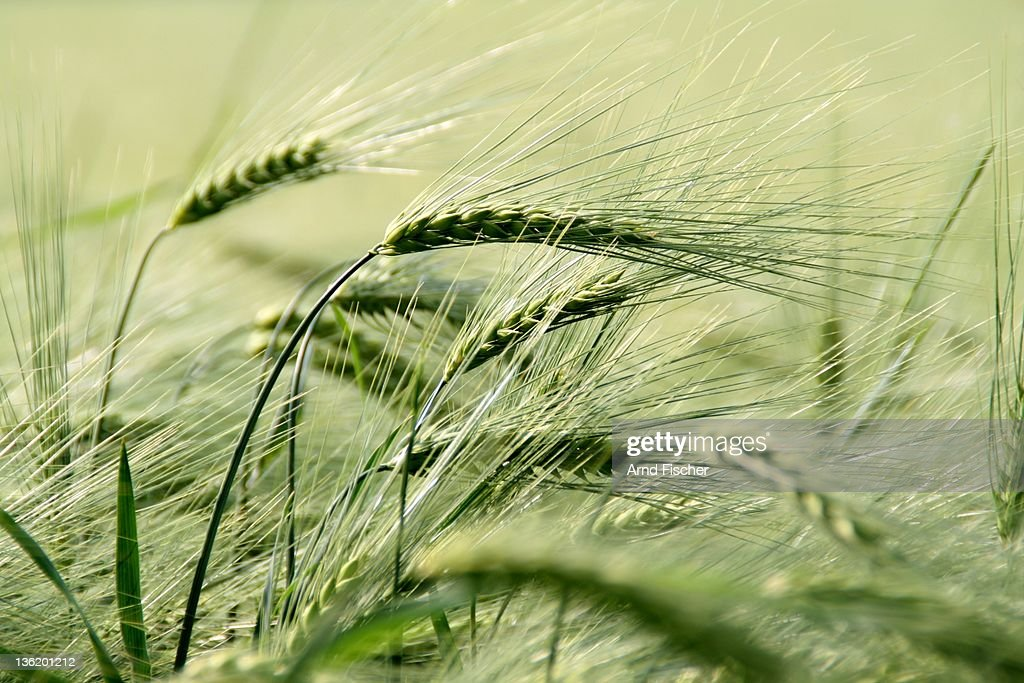 Barley field : Stock Photo
