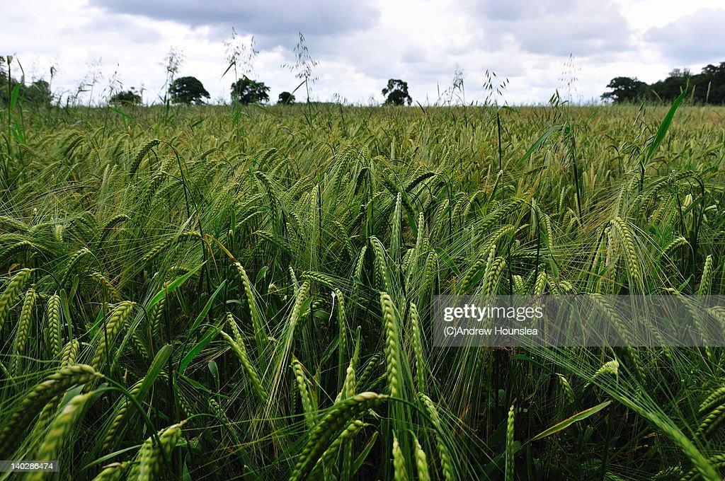 Barley field : Stock Photo