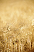Barley growing in field, full frame