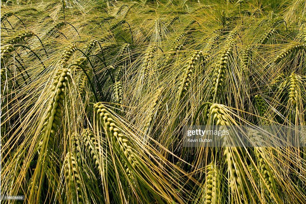 Barley : Stock Photo