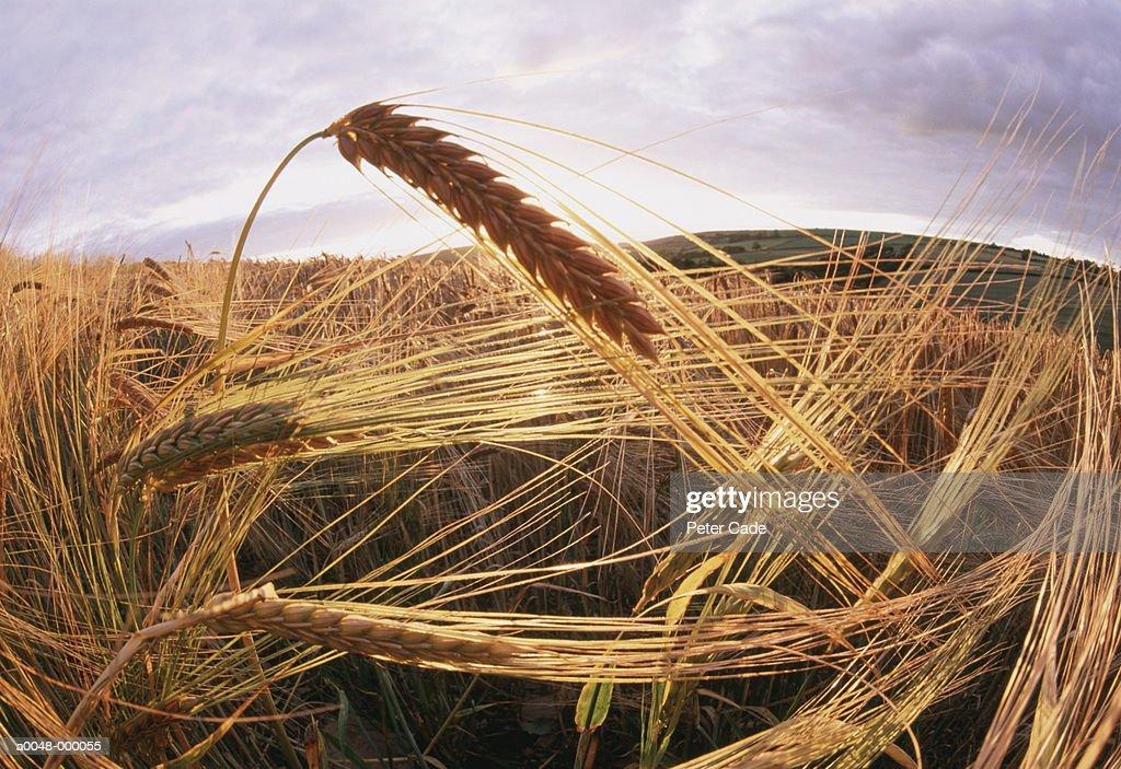 Barley Plants in Field : Stock Photo
