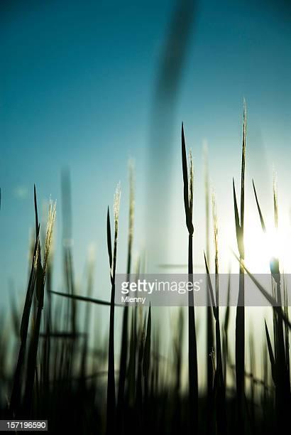 Barley Silhouette