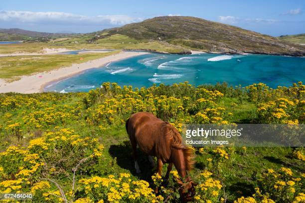 Barleycove beach aka Barlycove beach Wild Atlantic Coast County Cork Republic of Ireland Eire Horse grazing on cliff overlooking the beach