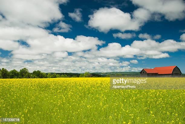Celeiro de Canola (campo de colza I