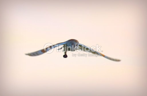 Barn owl bird in flight flying at sunset with prey
