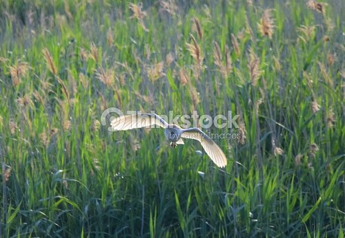 Barn owl bird in flight flying hunting over reeds