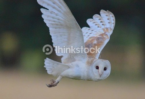 Barn owl bird of prey in flight flying at sunset dusk