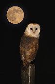 Barn Owl by moon