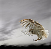 Barn Owl Flying Against and Overcast Sky