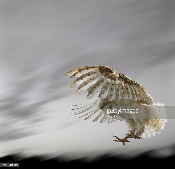 Barn Owl Flying Against and Overcast Sky