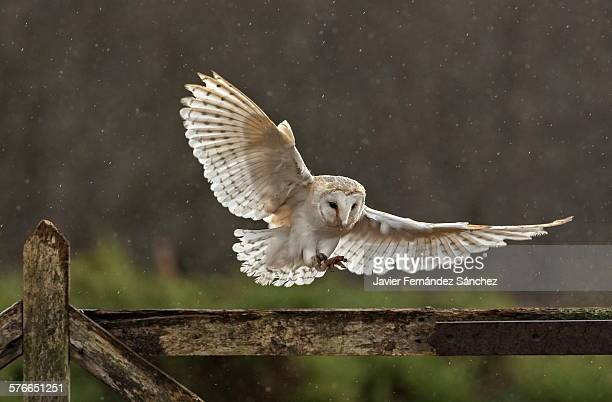Barn owl flying around the farm.