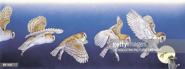 Barn Owl hunting at night illustration