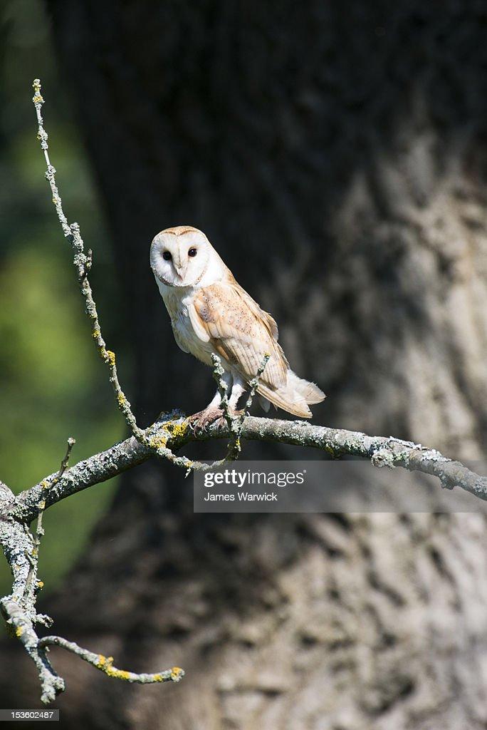 Barn owl in ash tree (wild) : Stock Photo