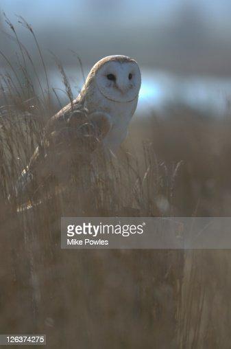 Barn owl (Tyto alba) in field, UK : Stock Photo