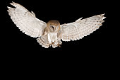 Barn Owl, in flight of perching on a trunk with open wings, black background, Tyto alba