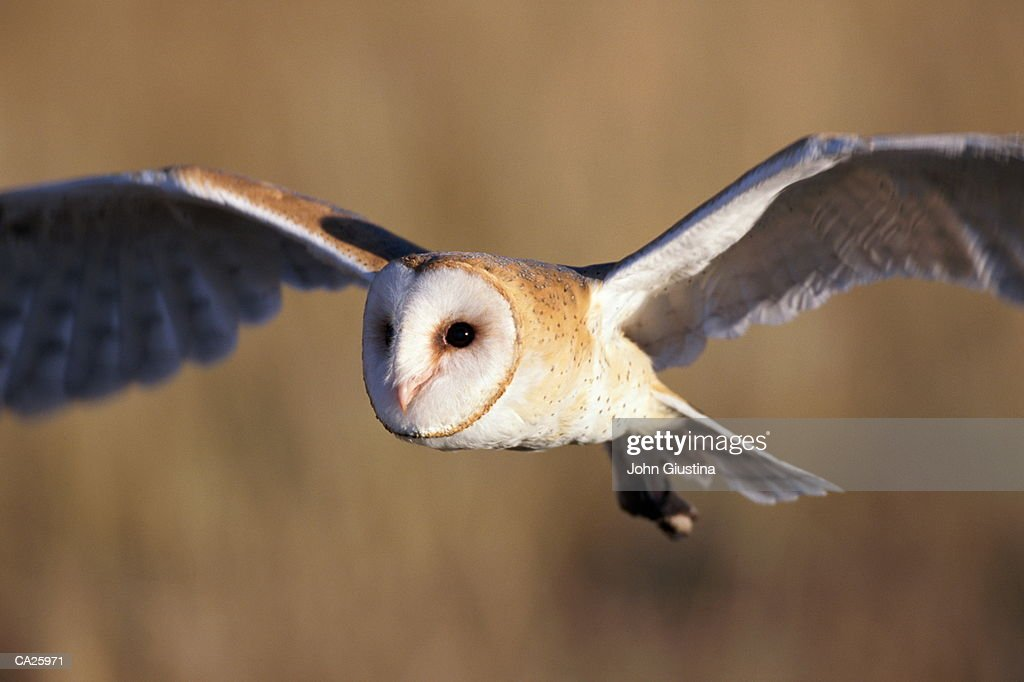 Barn Owl (Tyto alba) in flight : Stock Photo