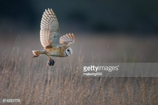 A Barn Owl in flight with its fresh catch