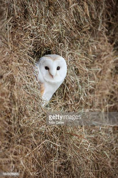 Barn owl in straw bails, Gloucestershire, UK