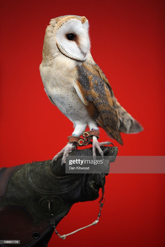 A Barn Owl is held during London Zoo's annual stocktake of animals on January 3, 2013 in London, England. The zoo's stocktake takes place annually, and gives keepers a chance to check on the numbers of every one of the animals from stick insects and frogs to tigers and camels.