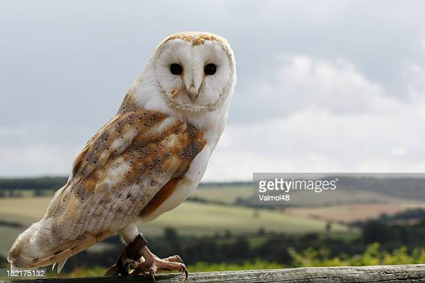 Barn owl looking forwards with landscape and sky behind