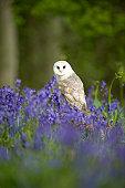 Barn Owl (Tyto alba) perched on tree stump among Bluebells (Hyacinthoides non scripta), Norfolk, UK