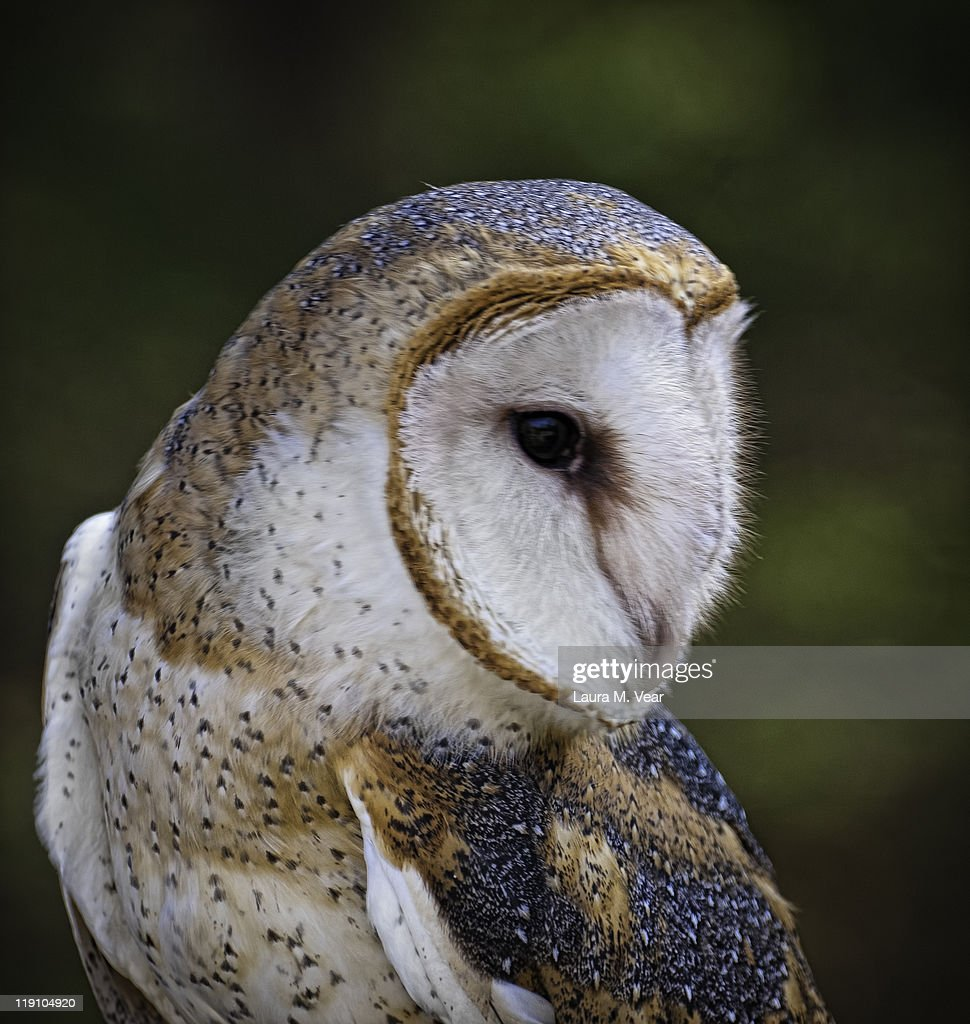 Barn owl : Stock Photo