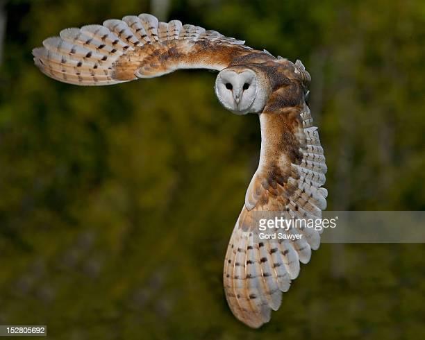 Barn Owl Taking Off Barn Owl Stock Photos ...