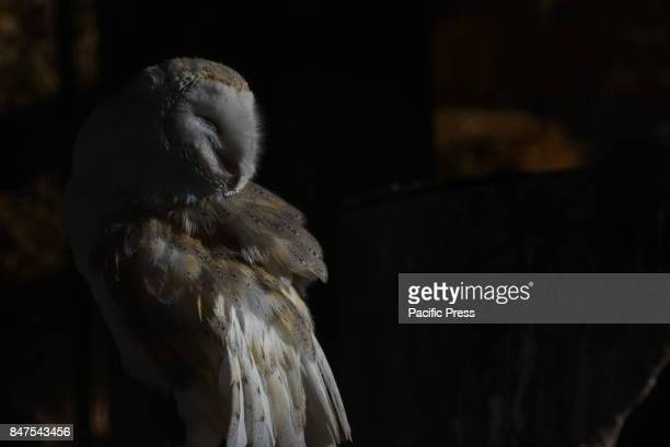 A barn owl pictured in its enclosure at Madrid zoo