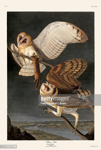 Barn Owl Plate 171 in John James Audubon's Birds of America late 1830s