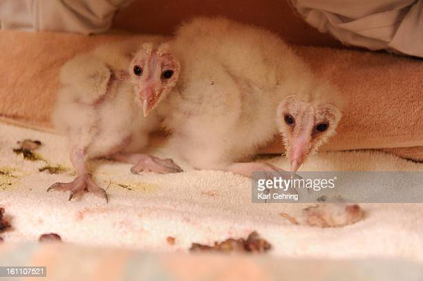 Barn Owl siblings rescued from a Larimer County farm were brought to the shelter days after their birth They have been trained to eat using small...