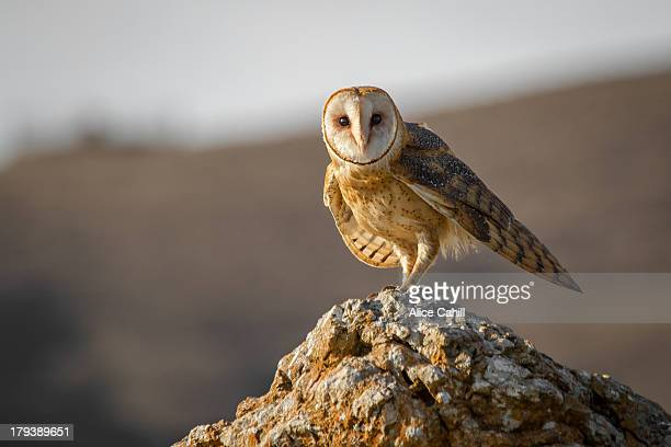 Barn owl standing on a rock